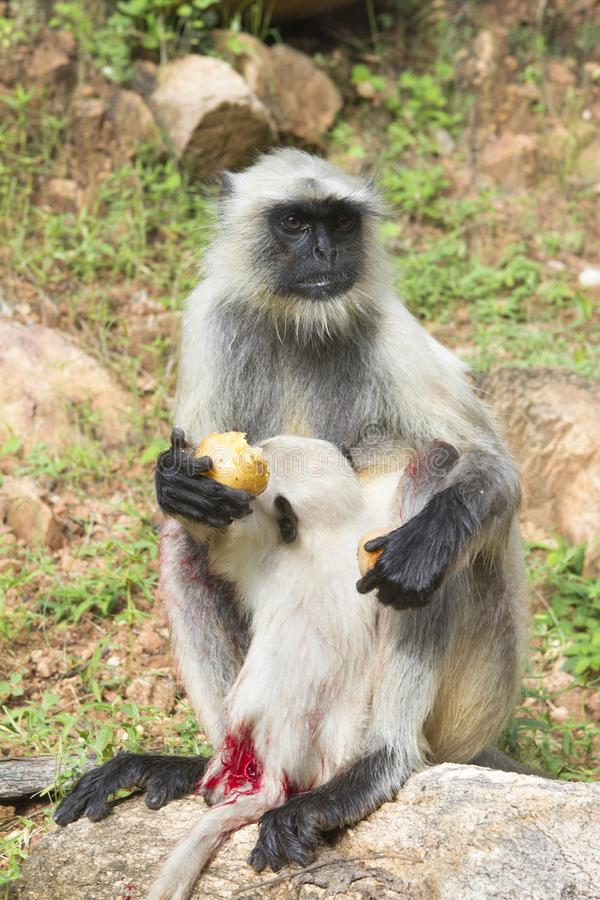 Big wound on the tail. Big wound on the little monkey tail stock images