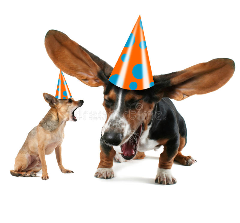 The big yawn. A baby basset hound yawning with big ears and a chihuahua royalty free stock images