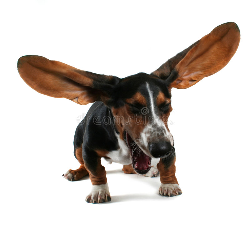The big yawn. A baby basset hound yawning with big ears royalty free stock photo