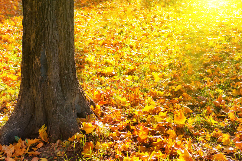 Big yellow autumn tree in a forest stock images