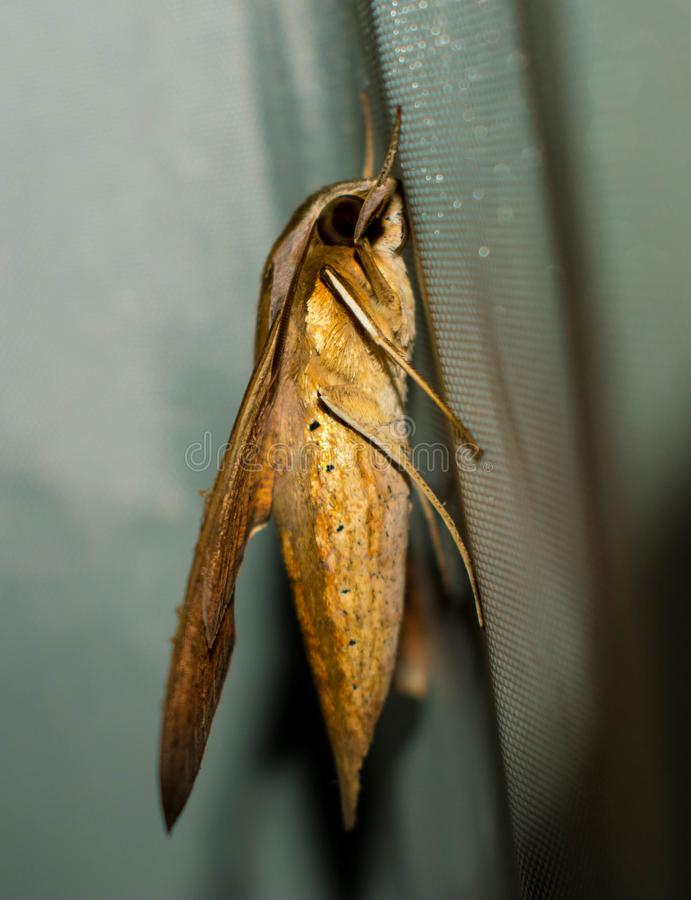 A Big Yellow Brown Moth Sticking To A Cloth stock photos