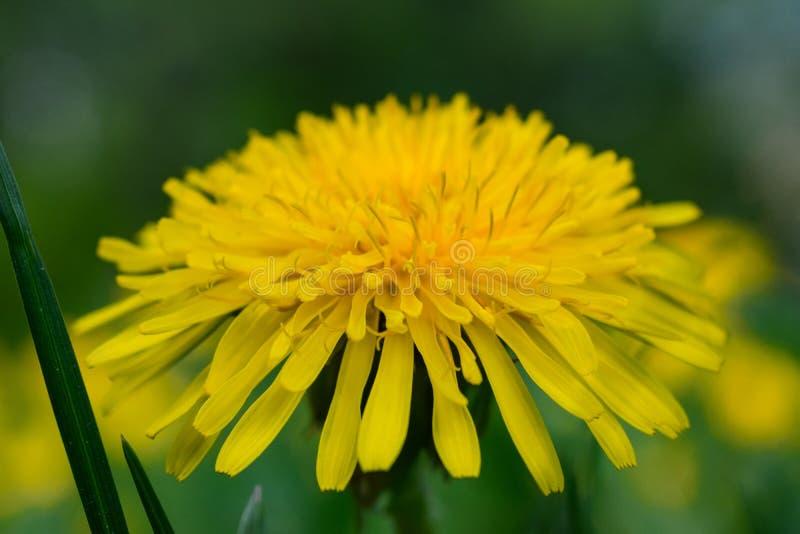 Big yellow dandelion. Macro photography, Eкатеринбург, Russia royalty free stock photo