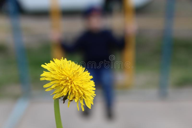 Big yellow dandelion close-up on the background of swinging on a swing child.  royalty free stock photography