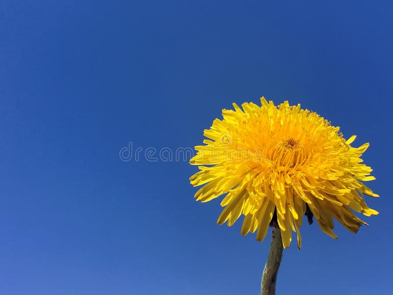 Big yellow dandelion illuminated by the sun against the blue sky. Dandelion, yellow flower, blue sky royalty free stock images