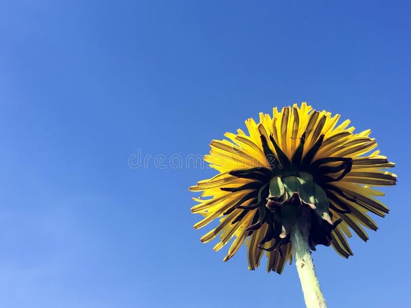 Big yellow dandelion illuminated by the sun against the blue sky. Dandelion, yellow flower, blue sky stock photography