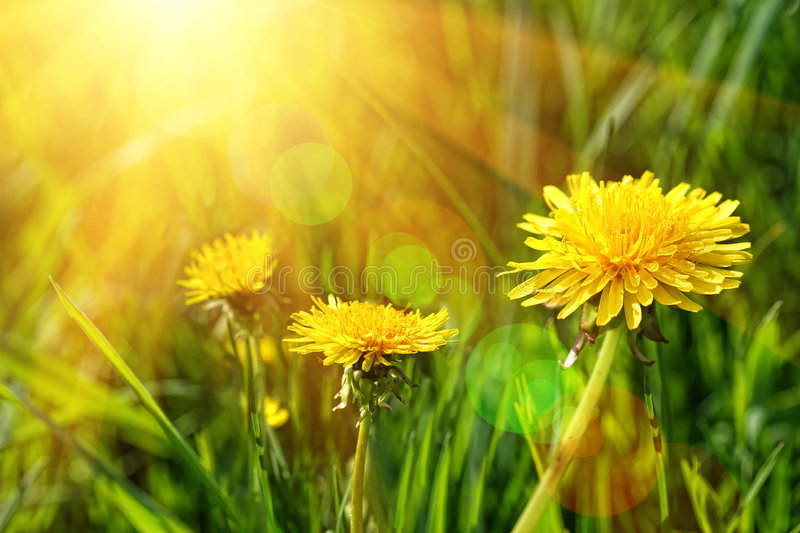 Big yellow dandelions in the grass stock images