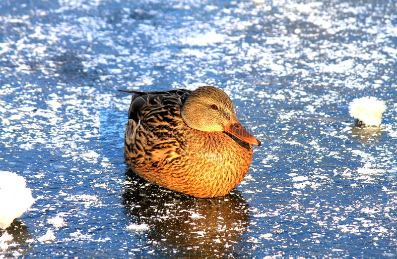 A big yellow duck with beautiful feathers sits on the blue ice of a frozen lake in winter, a waterfowl stock photo