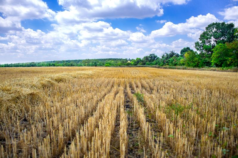 Big yellow field after harvesting. Mowed wheat fields under beautiful blue sky and clouds at summer sunny day. Converging lines on stock photography