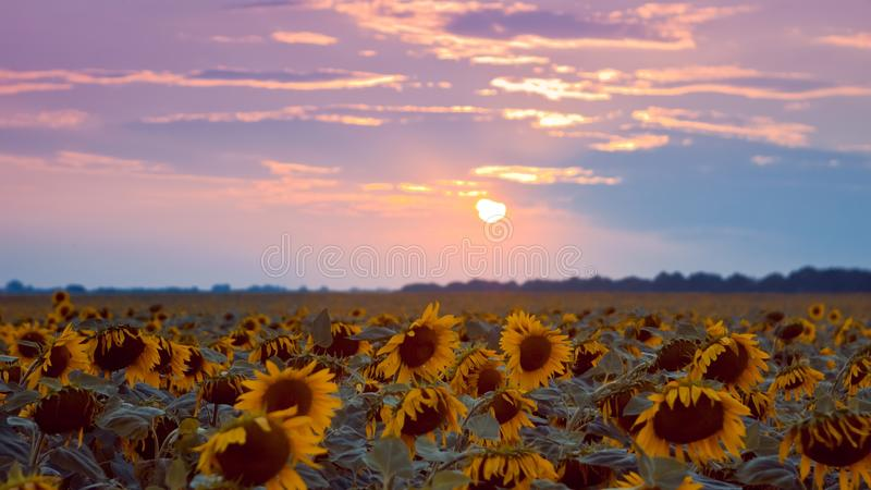 Big yellow flower discs in sunflower field against cloudy sunset sky, summer late evening sun after thunderstorm royalty free stock image