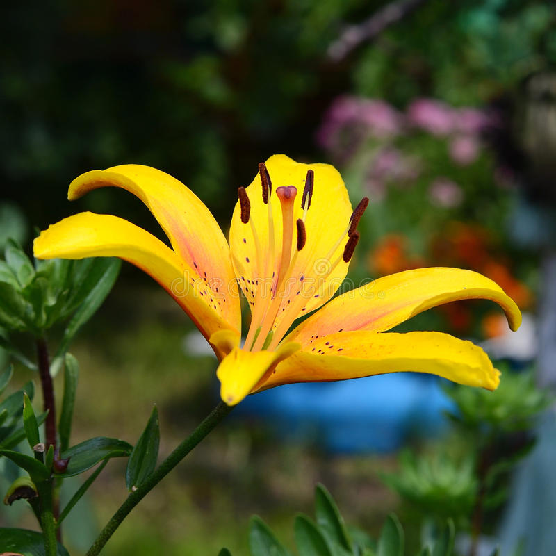 Big yellow flower royalty free stock photos