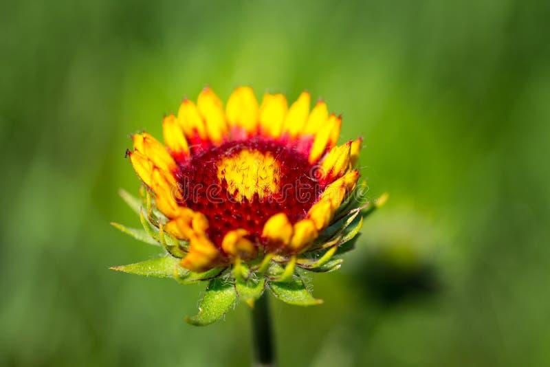 Big yellow gazania flower. Like the sun stock photo