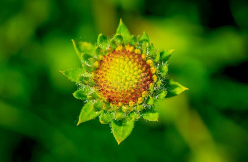 Big yellow gazania flower. Like the sun royalty free stock photo