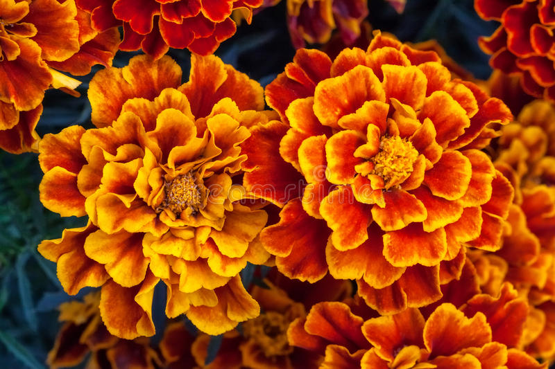 Big yellow marigold flowers in garden, top view royalty free stock image