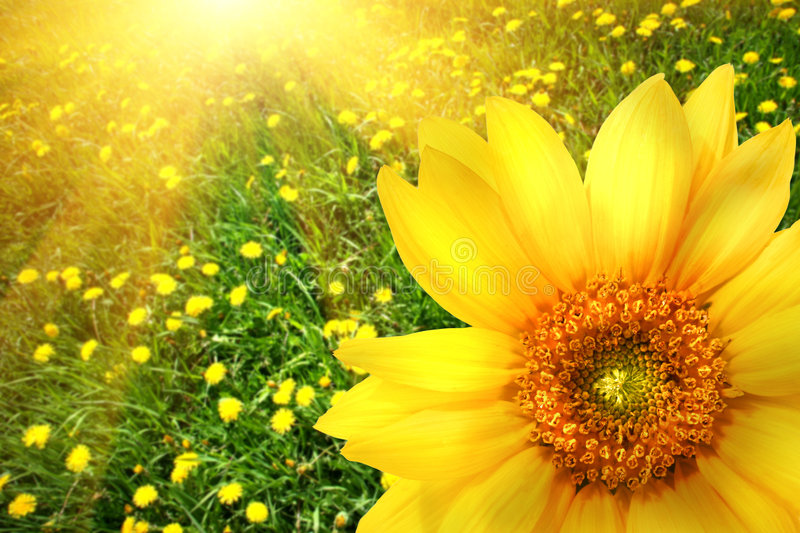 Big yellow sunflower. With unfilled background royalty free stock photo