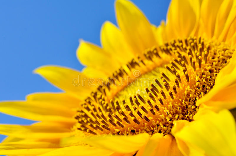 Big yellow sunflowers in the field against the blue sky. Agricultural plants closeup. Summer flowers the family Asteraceae royalty free stock photos