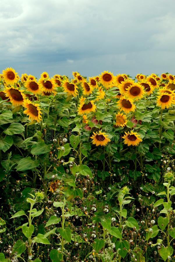 The big yellow sunflowers in the field bowed their heads with the sown seeds. For your design royalty free stock photos