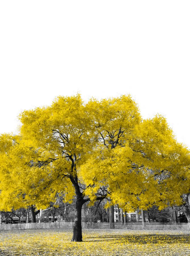 Big yellow tree in black and white landscape royalty free stock images