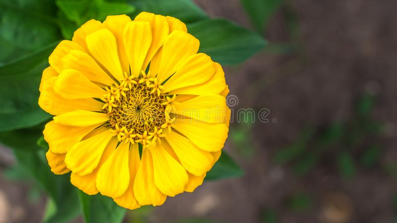 Yellow zinnia in blurred background royalty free stock photography