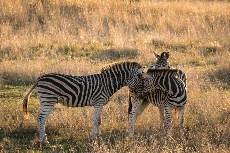 Adult Zebre Meeting