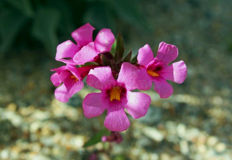 Bigelows monkeyflowers, Wüsten-Nationalpark Anza Borrego, lizenzfreies stockbild