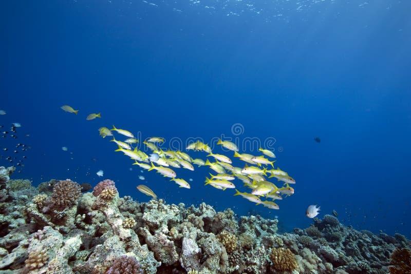 bigeye ωκεάνιος snapper στοκ φωτογραφία με δικαίωμα ελεύθερης χρήσης