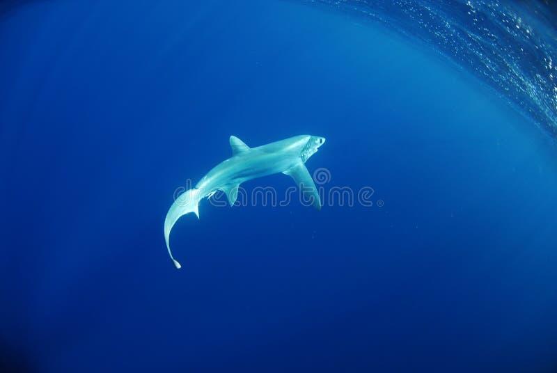 Bigeye dorserhaai die in oceaan zwemt royalty-vrije stock foto's
