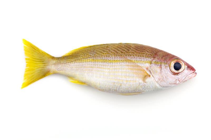 Bigeye Snapper ψάρια που απομονώνονται στο άσπρο υπόβαθρο στοκ εικόνες