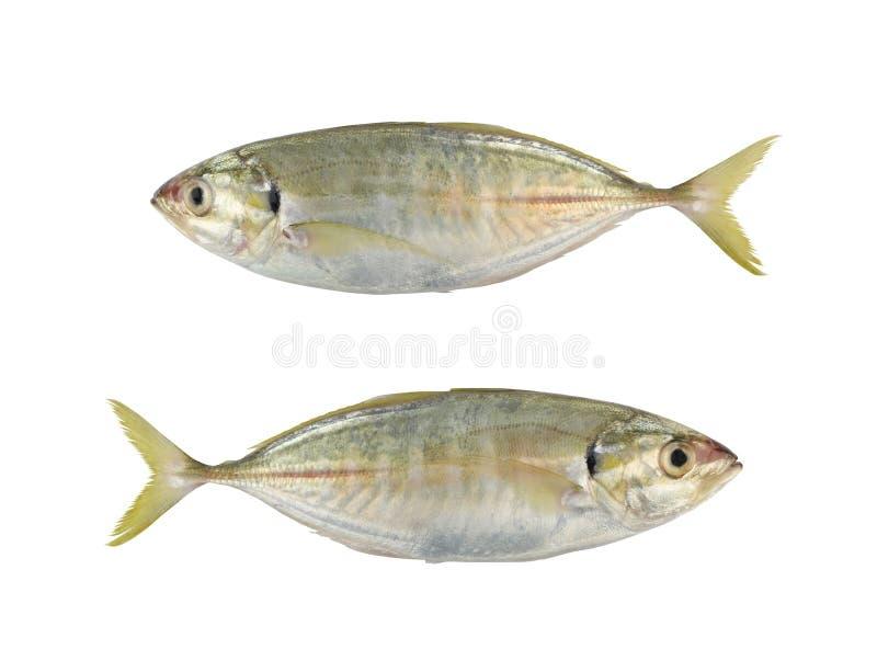 Bigeye trevally of de Duistere hefboom of de Grote trevally overzeese vissen isoleren stock foto's