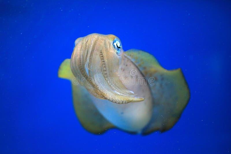 Bigfin Reef Squid  in Japan. Bigfin Reef Squid Sepioteuthis lessoniana in Japan royalty free stock image