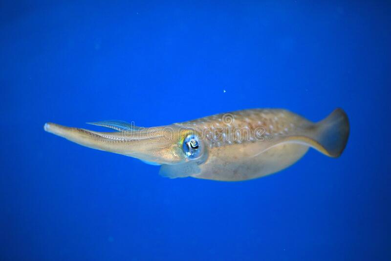 Bigfin Reef Squid  in Japan. Bigfin Reef Squid Sepioteuthis lessoniana in Japan royalty free stock photography