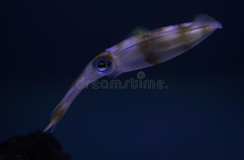 bigfintioarmad bläckfisk arkivfoto