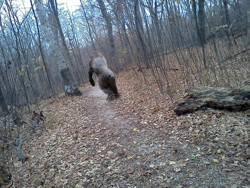 Bigfoot a saisi sur l'appareil-photo mobile de téléphone portable image libre de droits