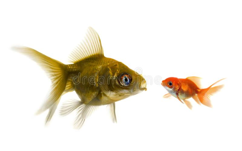 The bigger fish tries to eat the small one. On white royalty free stock photos