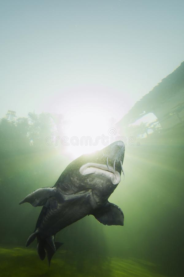 The biggest fish Beluga, Huso huso swimming in the river. Underwater photography. Freshwater fish sturgeon swimming in the nature. Fish in tank. Nice stock images