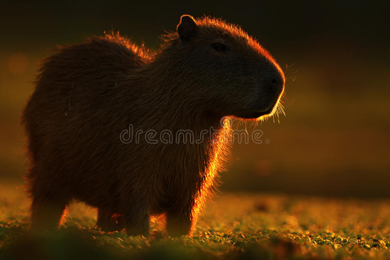 Biggest mouse around the world, Capybara, Hydrochoerus hydrochaeris, with evening light during sunset, Pantanal, Brazil. Biggest mouse around the world, Capybara royalty free stock photo
