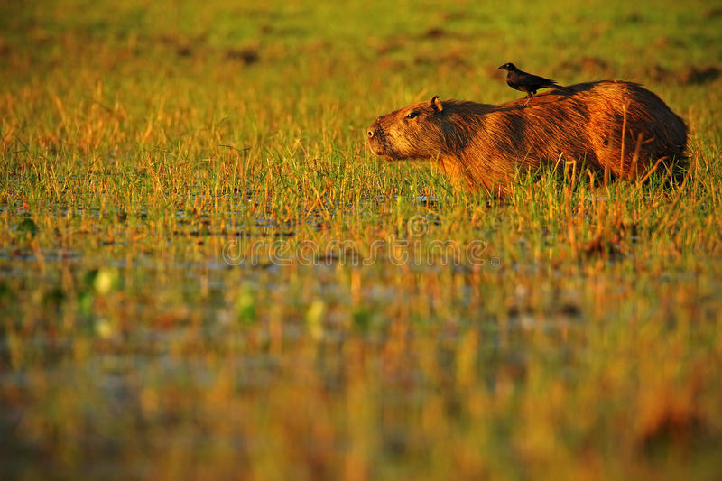 Biggest mouse, Capybara, Hydrochoerus hydrochaeris, with evening light during sunset, wild animal in the nature habitat, bird in. Biggest mouse, Capybara stock images