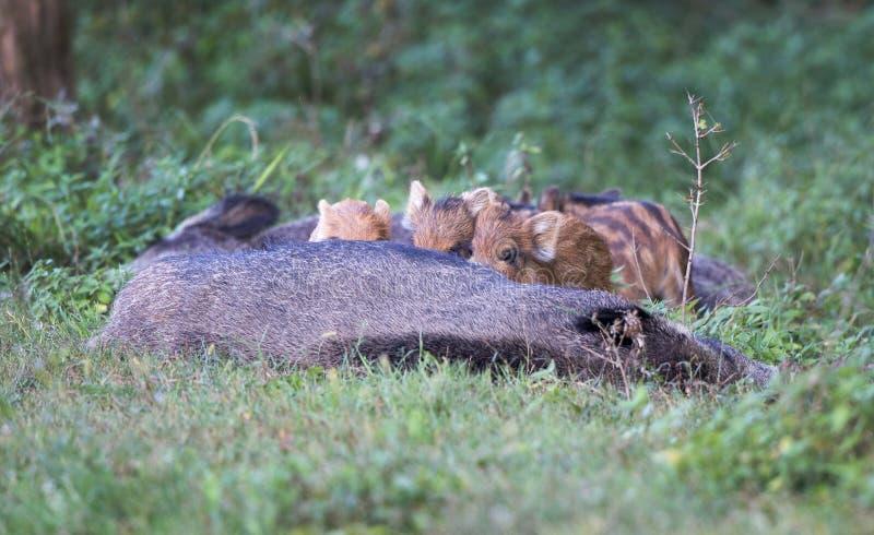 Biggetjes die everzwijn in bos zogen royalty-vrije stock fotografie