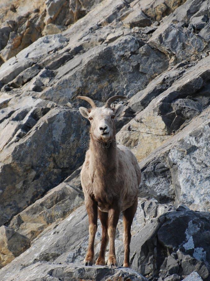 bighorn δύσκολη κλίση προβάτων στοκ φωτογραφίες με δικαίωμα ελεύθερης χρήσης