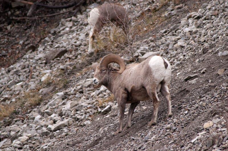 bighorn πρόβατα βράχων στοκ εικόνες