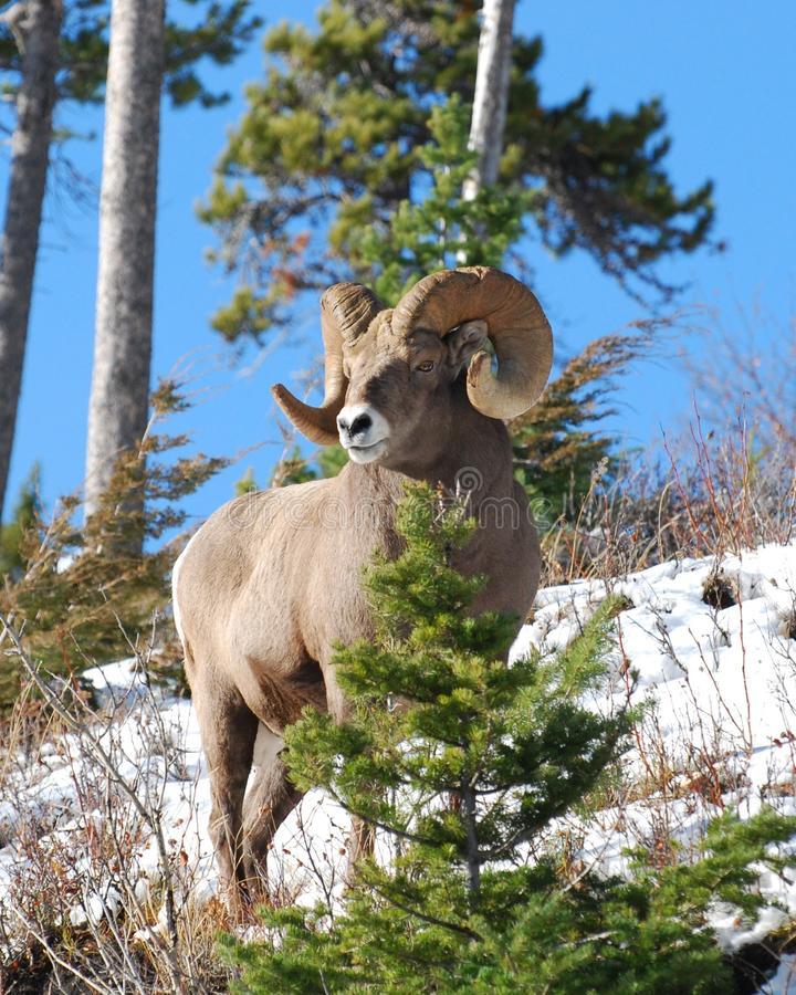bighorn πρόβατα ovis canadensis στοκ φωτογραφίες