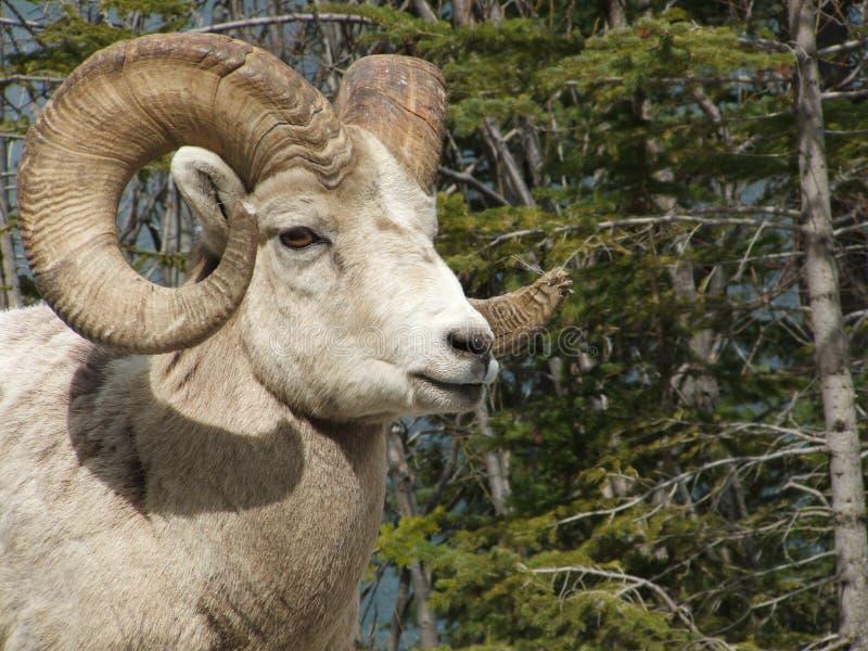 bighorn στενός κριός επάνω στοκ εικόνες