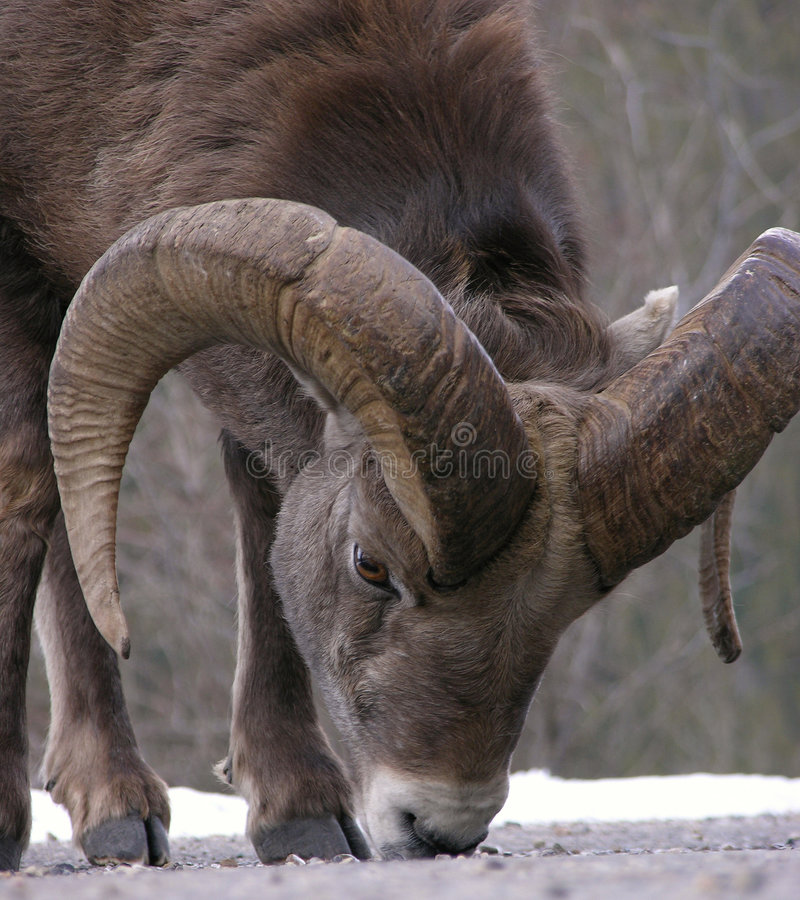 Bighorn royalty free stock image