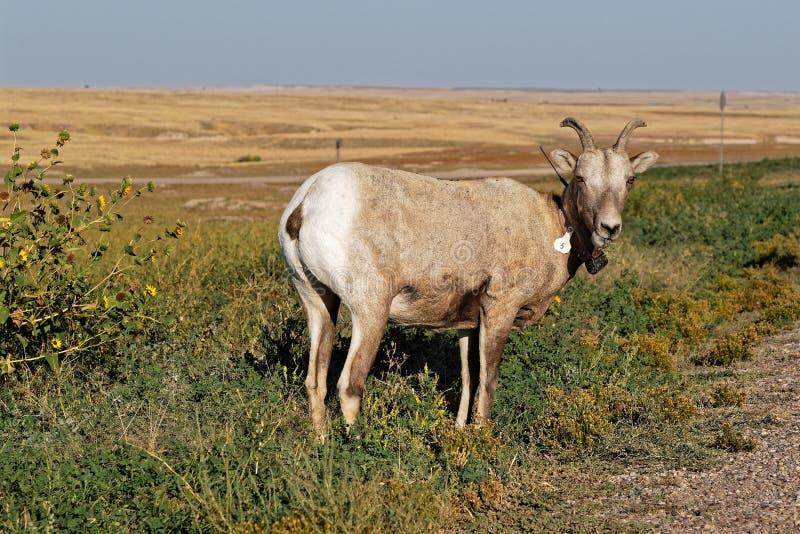 Bighorn cakiel w badlands fotografia royalty free