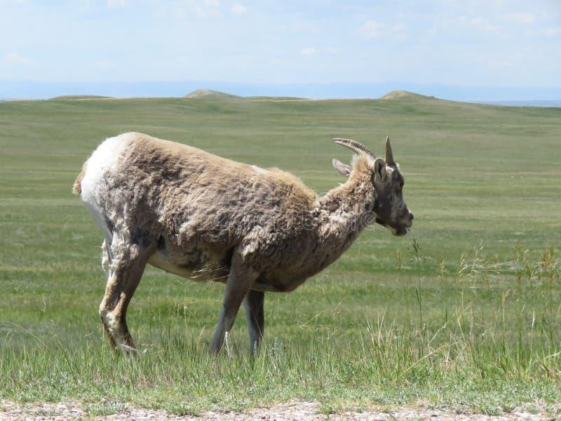 Bighorn cakli badlands zdjęcie stock