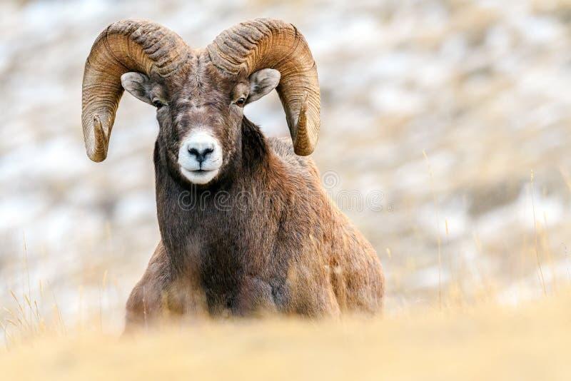 Bighorn cakli Ovis canadensis, Jaspisowy park narodowy, Alberta, zdjęcie stock