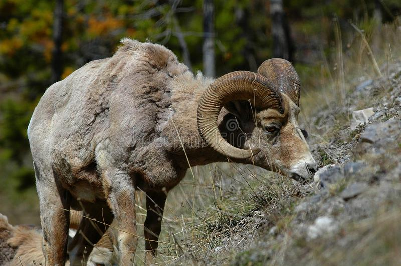 Bighorn, der im Frühjahr weiden lässt lizenzfreies stockbild