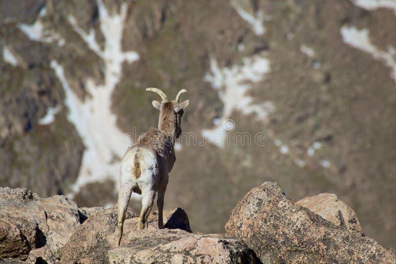 Download Bighorn Ewe zdjęcie stock. Obraz złożonej z przyroda - 32540648