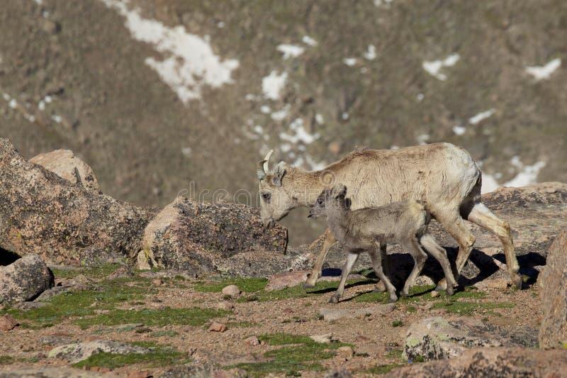 Bighorn Ewe And Lamb Walking Royalty Free Stock Photos