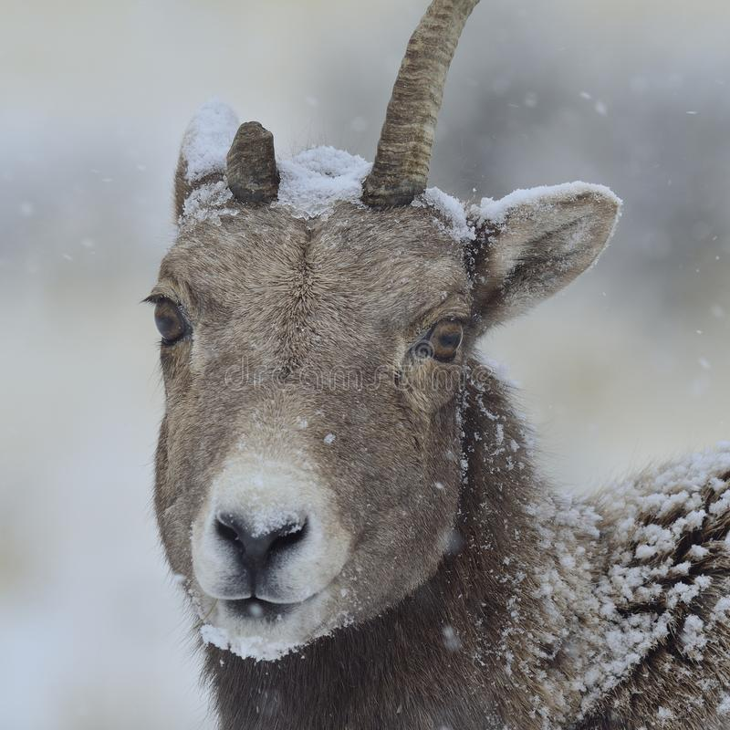 Download Bighorn Ewe In A Yellowstone Snowstorm Stock Photo - Image: 26473304