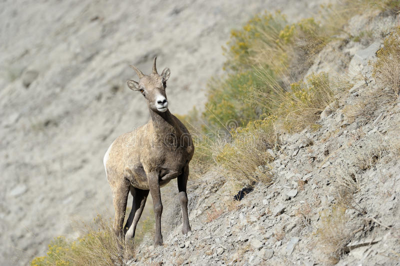 Bighorn får royaltyfri foto